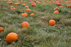 Pumpkins in field. A view of large, ripe pumpkins in a grassy field Stock Images