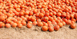 Pumpkins in a field. Colorful orange Pumpkins in a field Royalty Free Stock Photo