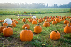 Pumpkins in the Field Royalty Free Stock Photos