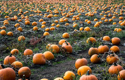 Pumpkins in field Royalty Free Stock Photography
