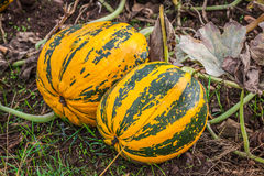 Pumpkins on the field Royalty Free Stock Images