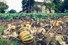 Pumpkins on the field Stock Photography