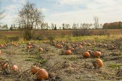 Pumpkins field Stock Photo