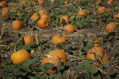 Pumpkins in the field growing Stock Images