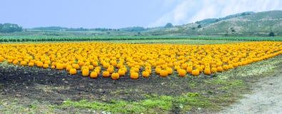 Pumpkins on a field Stock Photo