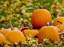 Pumpkins in field of leaves stock images