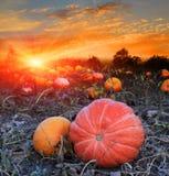 Pumpkins Field On Sunset Stock Photo