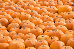 Pumpkins in the field Royalty Free Stock Image