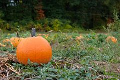 Pumpkins in the field royalty free stock photography
