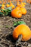 Pumpkins in the Field. Pumpkin patch - a field of pumpkins Stock Images