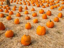 Pumpkins in Field of Straw Royalty Free Stock Photography