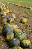 Pumpkins fields 4 Royalty Free Stock Images