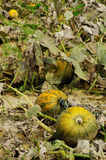Pumpkins fields Royalty Free Stock Photos