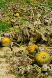 Pumpkins fields 3 Stock Image