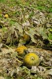 Pumpkins fields 2 Stock Images