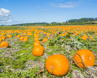 Pumpkins Fields under Sky. In autumn, the local pumpkin fields stretch like fields of gold across the Saanich Peninsula, Vancouver Island, Canada. We buy local Stock Image