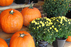 Pumpkins and Flowers. Displaying for holiday seasons celebration Royalty Free Stock Photos