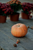 Pumpkins and flowers. Against the background of pots of autumn flowers big orange pumpkin Stock Photography