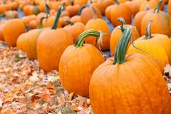 Free Pumpkins For Sale At A Pumpkin Patch Stock Photo - 161457280