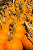 Pumpkins fresh picked from the patch Royalty Free Stock Images