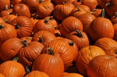 Pumpkins Galore Stock Photography