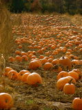 Pumpkins galore Royalty Free Stock Photography