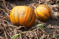 Pumpkins in a garden Stock Photo
