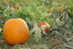 Pumpkins in the Garden. A pumpkin patch or garden Royalty Free Stock Image