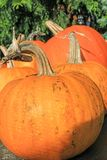Pumpkins in the garden, close up shot. In the sunshine Stock Photos