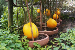 Pumpkins in the garden; Royalty Free Stock Photo