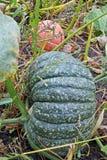 Pumpkins in the garden Stock Image