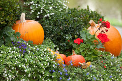 Pumpkins in the garden. Stock Image