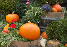 Pumpkins in the garden. Stock Photos