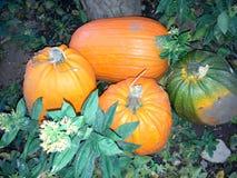 Pumpkins in the garden. Next to a tree Royalty Free Stock Photos