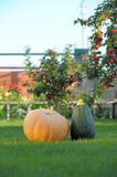 Pumpkins in garden Stock Image