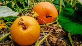 Pumpkins garden Royalty Free Stock Photos