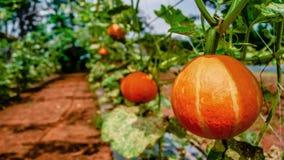 Pumpkins garden Royalty Free Stock Image