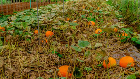 Pumpkins garden Stock Photography