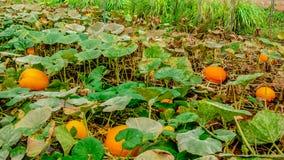 Pumpkins garden Stock Photo