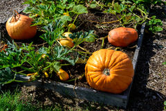 Pumpkins in the garden Stock Images