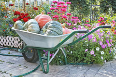 Pumpkins in the garden wheelbarrow Stock Photo