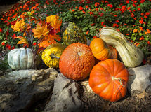 Pumpkins, Gourds, Autumn Leaves, and Late Blooming Flowers Say Thanksgiving In This Composition. This collection of brightly lit pumpkins, gords, Autumn leaves Stock Photo