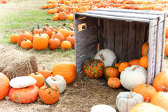 Pumpkins and gourds Royalty Free Stock Photo