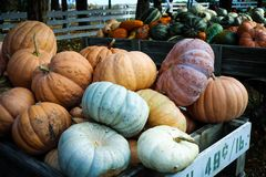 Pumpkins and gourds of many sizes and shapes. Carts full of bright orange, yellow, green, and white pumpkins and gourds that are being sold at a farm and pumpkin Stock Image