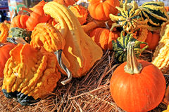 Pumpkins Gourds & Squash. Several bright orange and yellow miniature pumpkins and gourds sitting in hay Stock Image