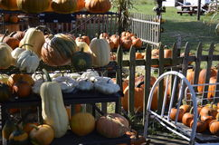 Pumpkins, gourds and squash Royalty Free Stock Photography