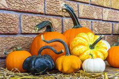 Pumpkins and gourds with twisting stems arranged on wooden porch Royalty Free Stock Photo