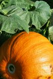 Pumpkins in the grass Stock Image