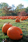 Pumpkins on the Grass. Several bright orange pumpkins bathing in the morning sun on the grass Stock Photo