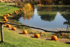 Pumpkins in the grass. Pumpkins laid in the grass around the pond. Autumn holiday stock image